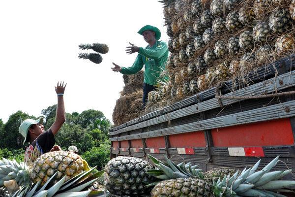 Webinar aponta principais tecnologias para aumentar produção e qualidade do abacaxi tocantinense